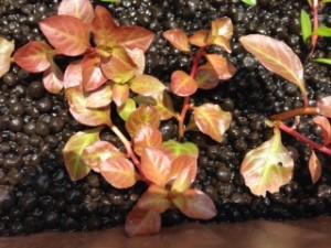 水草 水上葉